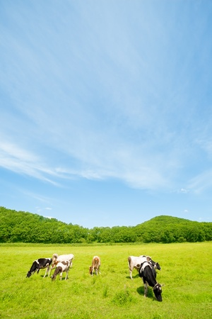 Cows on a pasture.Summer. Stock Photo