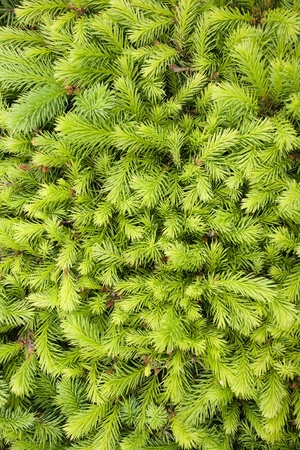 Young branches of decoratively cut fir.
