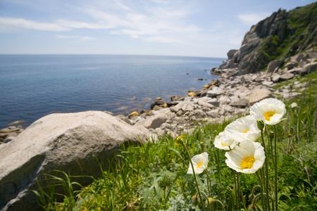 White wild poppies at sea coast. photo