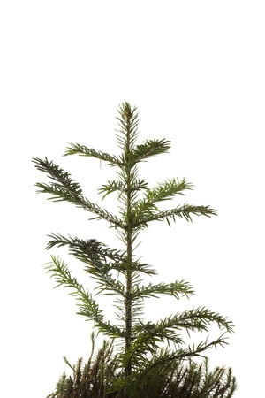 Natural small Christmas fir tree(sapling) with a grass isolated on white. photo