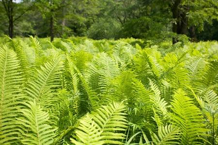 polypodiopsida: Wild fern in a forest.