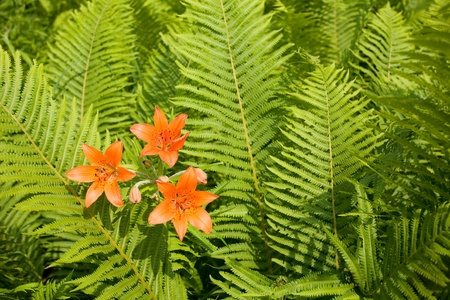 Wild orange lily growing among ferns. Stock Photo - 10573641