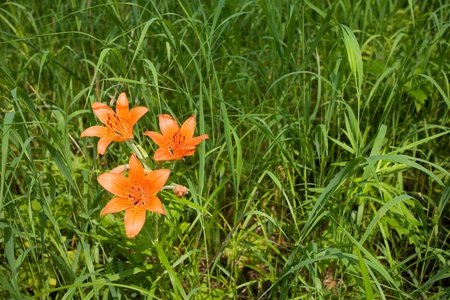 pedicel: Wild orange lily growing in a meadow. Stock Photo
