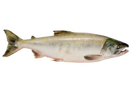 chum: Pacific chum salmon, fresh caught mature male.