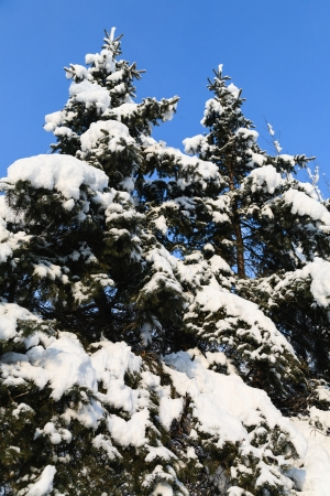 Christmas tree in the snow against the blue sky. photo