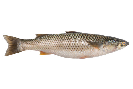 grey mullet: Freshly caught sea fish Mullet or Haarder, isolated on white