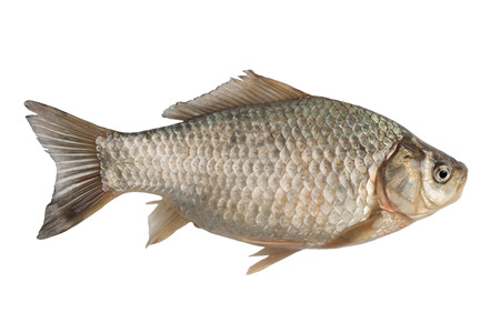 carassius gibelio: Freshly freshwater fish Crucian carp (Carassius auratus gibelio) isolated on white