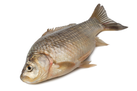 carassius gibelio: Freshly fish Crucian carp (Carassius auratus gibelio) isolated on white