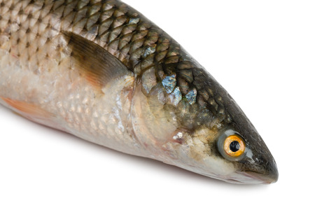 grey mullet: Front part of the body sea fish Mullet or Haarder, isolated on white