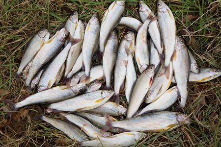 grayling: Fish grayling lies on autumn grass