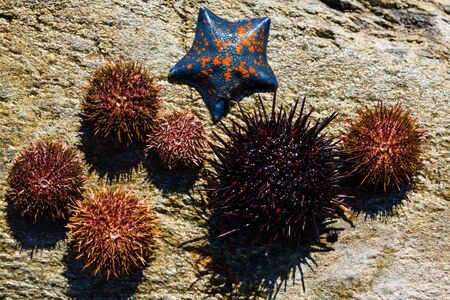 Live sea urchins and star lie on a rock