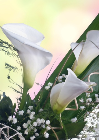 Close up of  white calla lilies photo