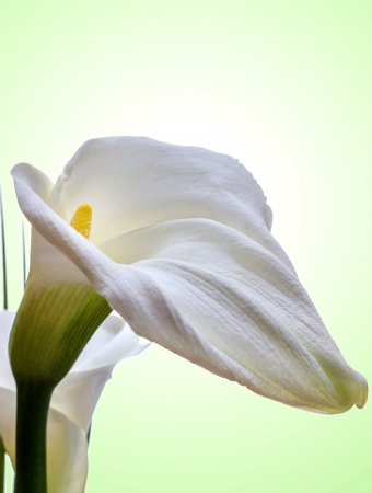 Close-up of White Calla Lilly on green Background photo
