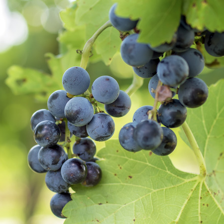 outdoor photo: Bunche of blue grapes, outdoor photo