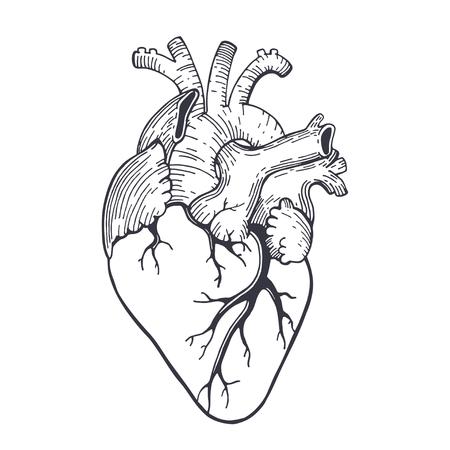 Corazón Rojo Anatómico Realista Del Vector Con El Bigote ...