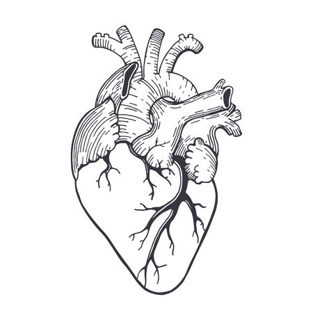 Vector realistic anatomical heart