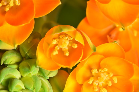 ornithogalum: orange flower of ornithogalum