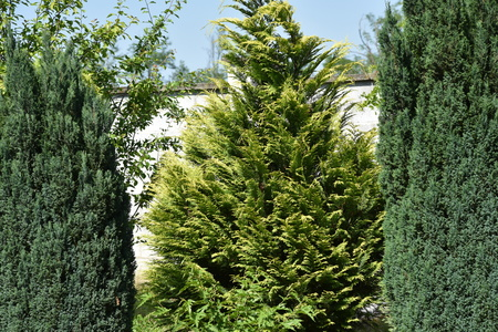 onion valley: pine trees in a garden