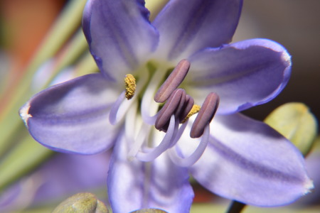 pistils: pistils purple flowers