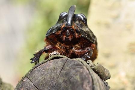 beetle: rhinoceros beetle Stock Photo