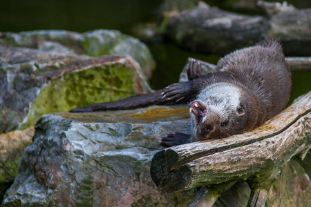 aonyx: The mammal otter swimming in water played