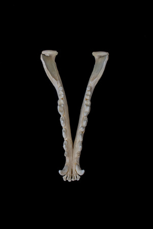 Fox skull on a black background isolated Stock Photo