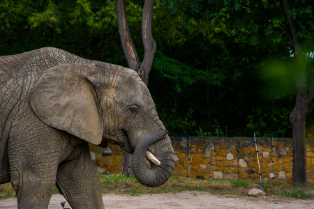 large African elephant resting in a zoo aviary Stock Photo