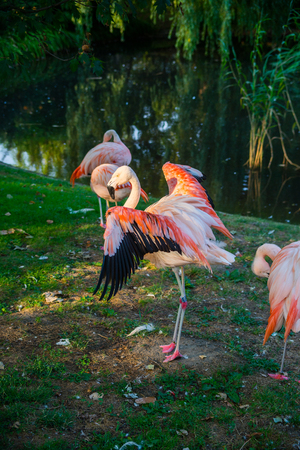 very beautiful bird pink flamingo on a green background