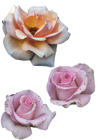 Clipart flowers roses on white background