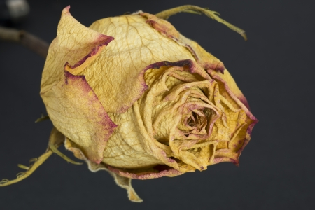 lovesickness: Withered Rose Stock Photo