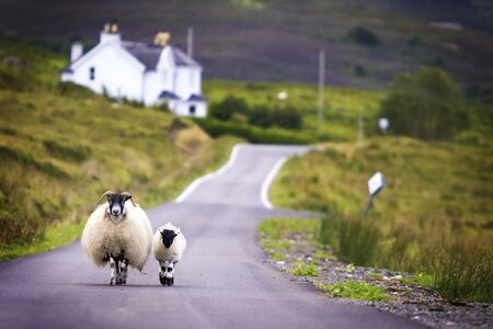Two sheeps walking on street in Scotland