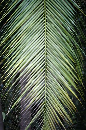 Beautiful green palm tree leaf hanging down. 版權商用圖片