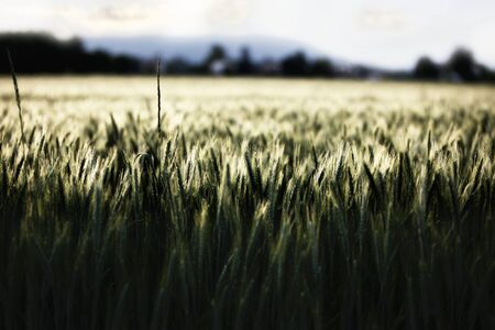 Low-light image: close-up of wheat halms in cornfield.