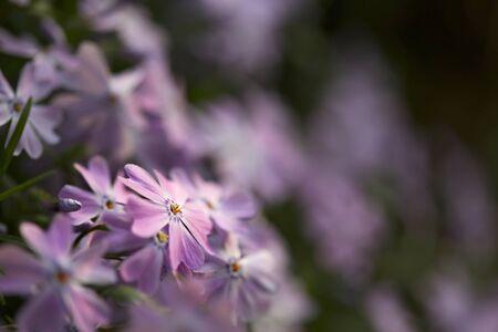 Close-up of bright purple flower with shallow depth of field on dark background. 版權商用圖片 - 131363908