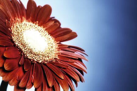 Close-up of red Gerbera flower on blue background. 版權商用圖片