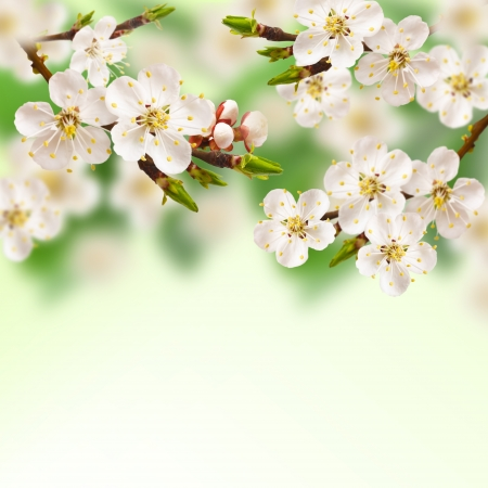 flower border pink: Beautiful spring blossoming apricot tree.