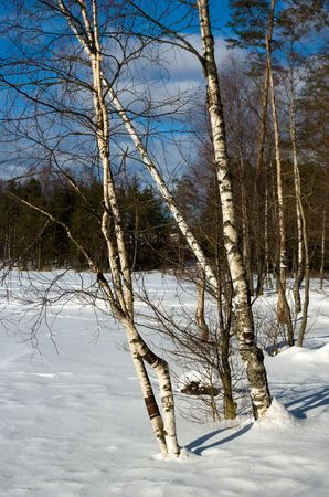 Birches on forest lake bank in early spring Stock Photo - 5093805