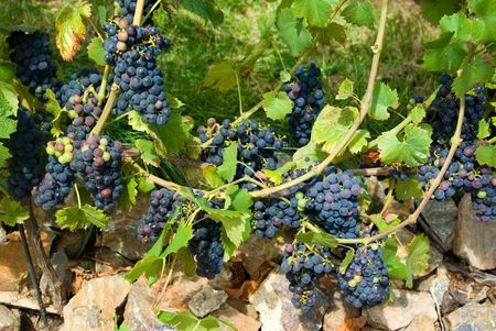 Bunches of unripe black grapes Stock Photo - 5106628