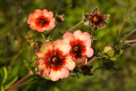 Potentilla nepalensis flowers and bud