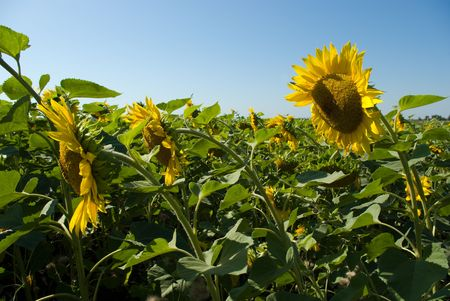 Sunflower field Stock Photo - 5459900