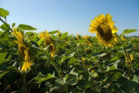 Sunflower field Stock Photo - 5459900
