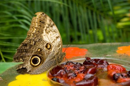 fata morgana: Owl butterfly (Caligo memnon) eating berry jam