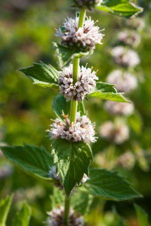 mentha: Mentha spicata (Spearmint, Spear Mint)