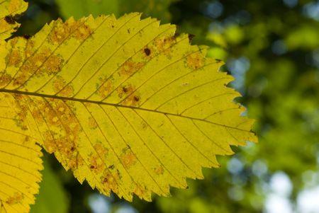 elm: Yellow elm leaf