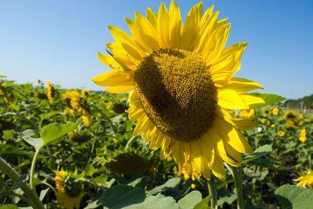 Sunflower field Stock Photo - 5661896
