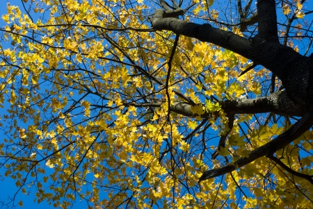 Maple tree top with yellow leaves photo