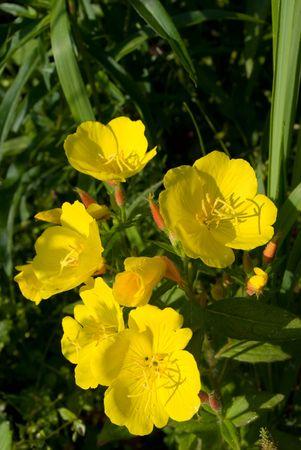 oenothera biennis: Evening primrose flowers