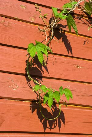 common hop: Young Common hop plant against a red colored wooden wall Stock Photo