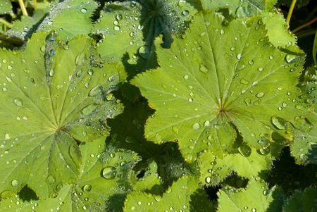 alchemilla: Alchemilla vulgaris (manto della Madonna) lascia con gocce di pioggia Archivio Fotografico