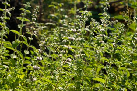Mentha spicata (Spearmint, Spear Mint) plants and flowers Stock Photo